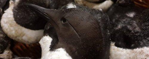 Onderzoek naar verhoogde zeevogelsterfte