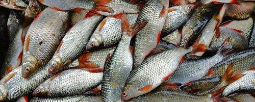 Klimaatverandering eist zijn tol: nu al minder vis door warmer zeewater