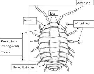 Pillbug Diagram
