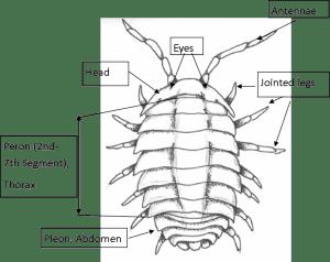 Pillbug Diagram