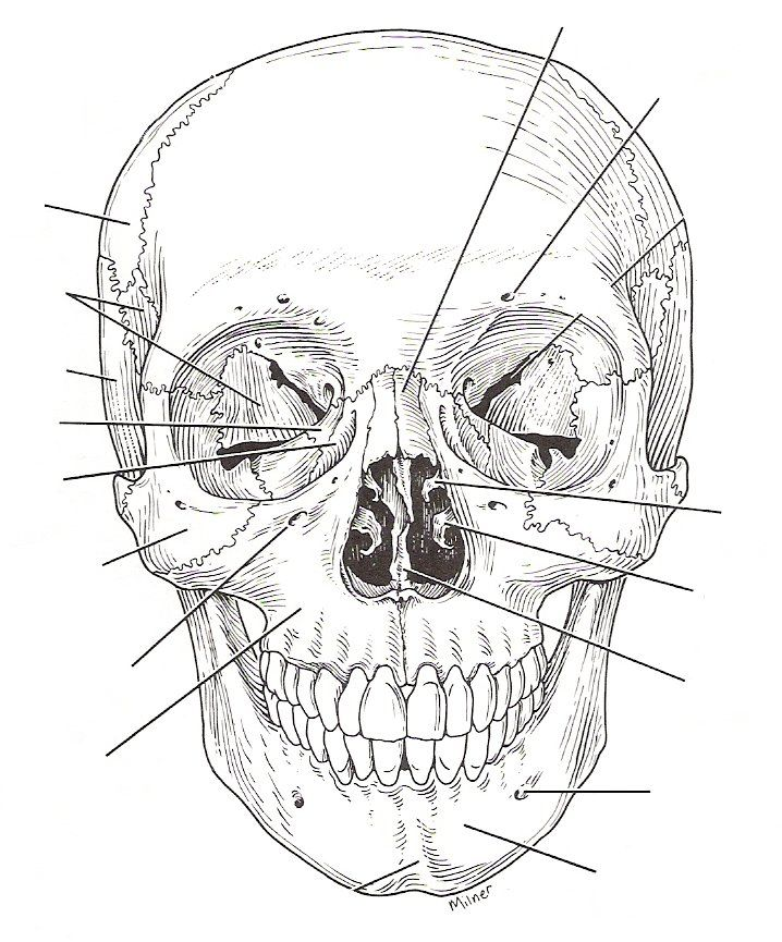 Skull Diagram Unlabeled