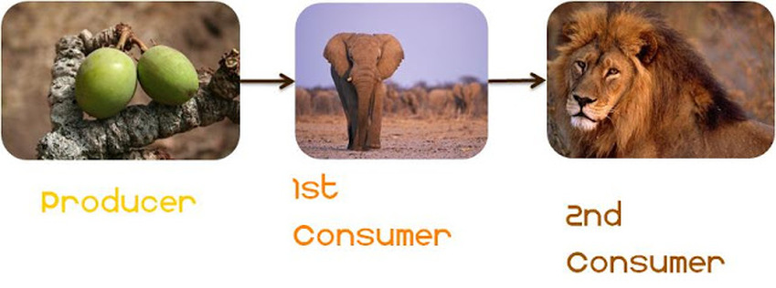 african elephant food chain diagram furnace wiring nutrition the s as seen in above eats plant and then lion
