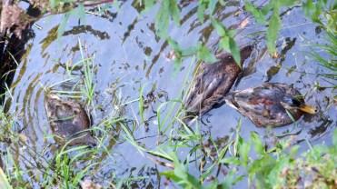 """Auf meine Frage: """"Wo habt ihr das Bier kaltgestellt?"""", tauchten diese Enten einfach ab."""