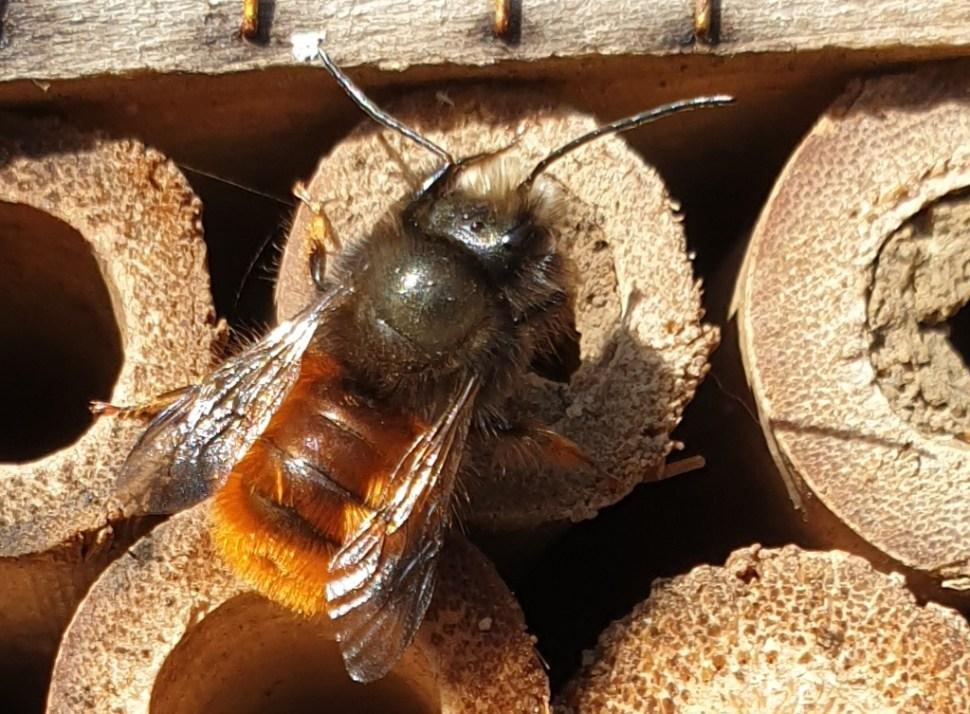 Die Wildbienen schlüpfen im Garten.