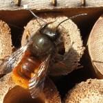 Wildbienen schlüpfen im Insektenhotel