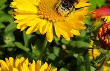 Auch im Halbschatten können wundervolle Stauden für Wildbienen und Co. blühen.