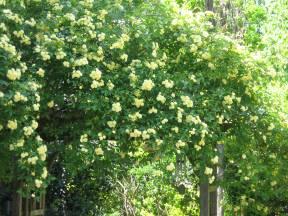 Banksia rose 002