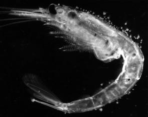 Mysis oculata