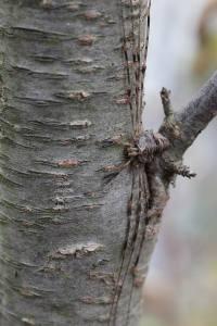 Dicranopalpus ramosus  (1)