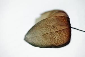 Lampion Blume) (2)