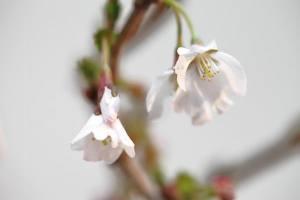 Prunus (8)