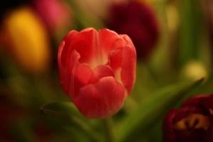 Tulpen-(3)