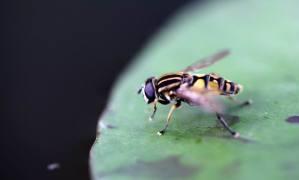 Helophilus trivittatus - Große Sumpfschwebfliege  (2)