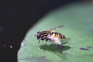 Helophilus trivittatus - Große Sumpfschwebfliege  (4)