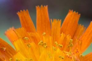 orangerotes-Habichtskraut-1200px