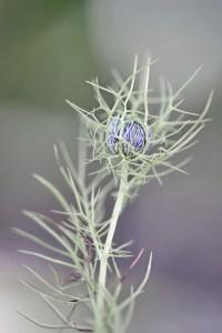 junge-nigella-1200px