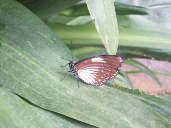 Cameron Highlands Butterfly Farm - Dark Brown Butterfly