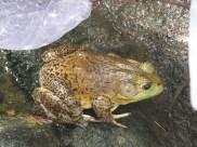 Cameron Highlands Butterfly Farm - Frog