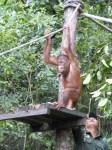 Shangri-La's Nature Reserve - Orang Utan - Ready to play