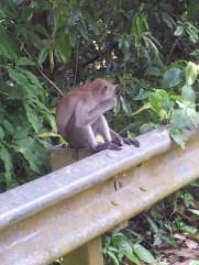Pulau Ubin Monkeys Eating Close-Up