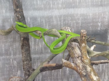 Cameron Highlands Butterfly Farm - Light Green Snakes