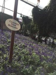Cameron Lavender Garden - Lavender from Hokkaido