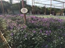 Cameron Lavender Garden - Mona Lavender