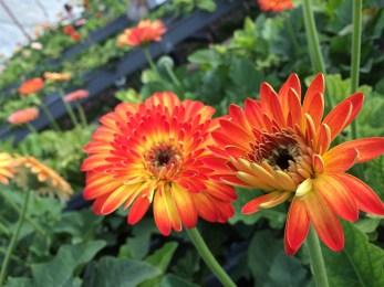 Cameron Lavender Garden Dark Orange Gerbera