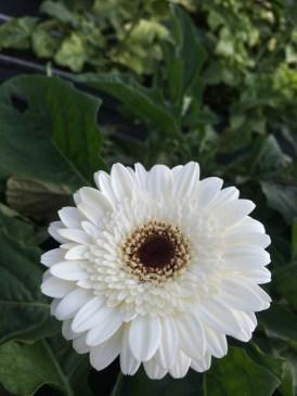 Cameron Lavender Garden White Gerbera