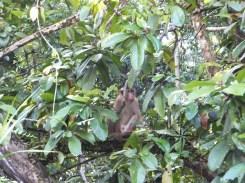 Sightings of the Redhead Primate Monkey Front in Kinabatangan River Wildlife Sanctuary