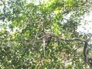 Sexy Ass of the Proboscis Monkeys in Kinabatangan River Wildlife Sanctuary