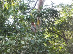 Proboscis Monkey Looking at Us in Kinabatangan River Wildlife Sanctuary