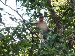 Proboscis Monkey Frontview in Kinabatangan River Wildlife Sanctuary