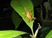 Orange Grasshopper in Sukau Forest Kinabatangan