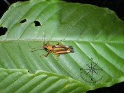 Orangy Yellow Grasshopper Sideview in Sukau Forest Kinabatangan