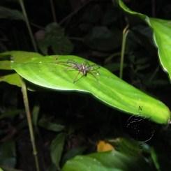 Spider in Sukau Forest Kinabatangan