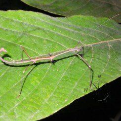 Amazing Stick Insect in Sukau Forest Kinabatangan