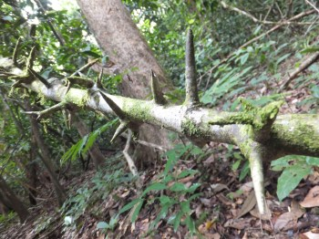 Pointed Tree during Morning Jungle Trekking in Kampung Sukau Forest near Sukau Evergreen Lodge Kinabatangan