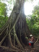Oldest and Biggest Tree during Morning Jungle Trekking in Kampung Sukau Forest near Sukau Evergreen Lodge Kinabatangan