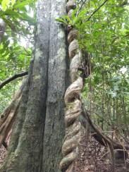 Curly Trunk during Morning Jungle Trekking in Kampung Sukau Forest near Sukau Evergreen Lodge Kinabatangan