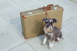 Traveling miniature schnauzer sits beside his suitcase