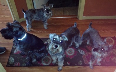 Too many schnauzers in one house?