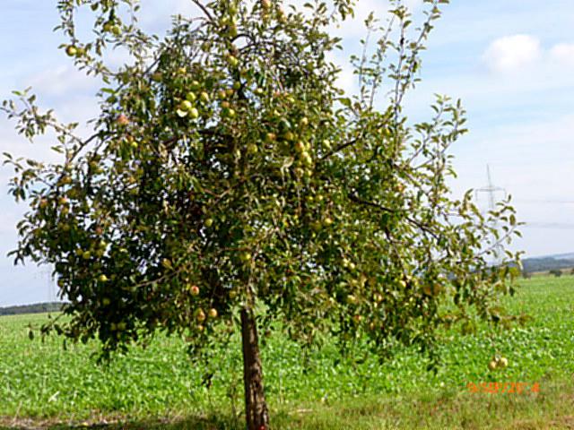 Apfelbäume--8.9.14   (3)
