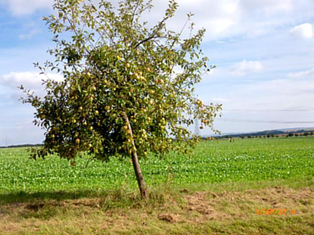 Apfelbäume--8.9.14   (5)