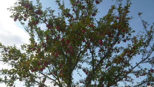 Apfelbäume--8.9.14   (8)