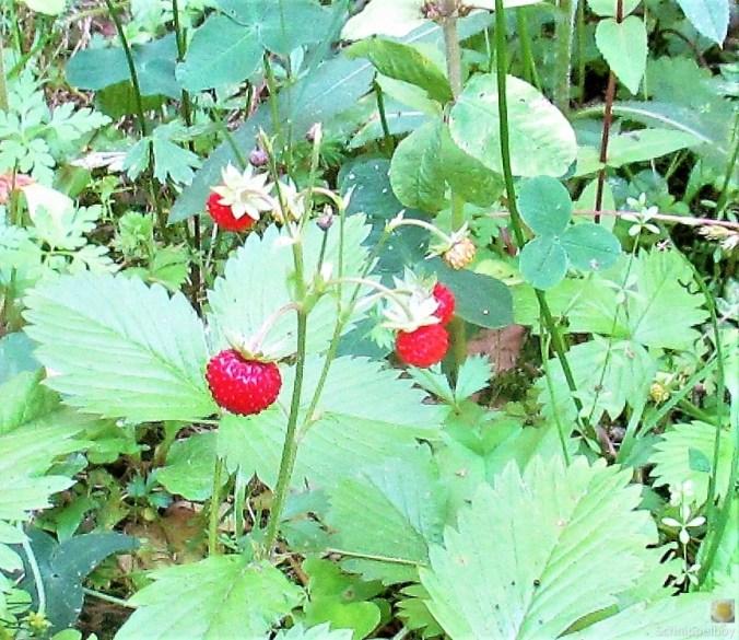 Blumen,Früchte,Insekten im Wald (13b) (2)