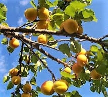 Aprikosenkuchen (3)