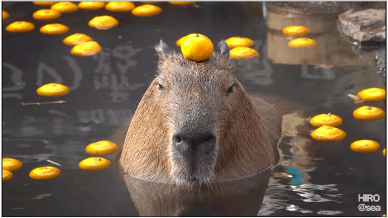Totally OT: Capybaras balance oranges