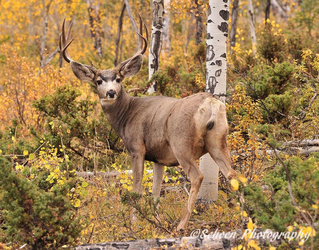 Deer 007