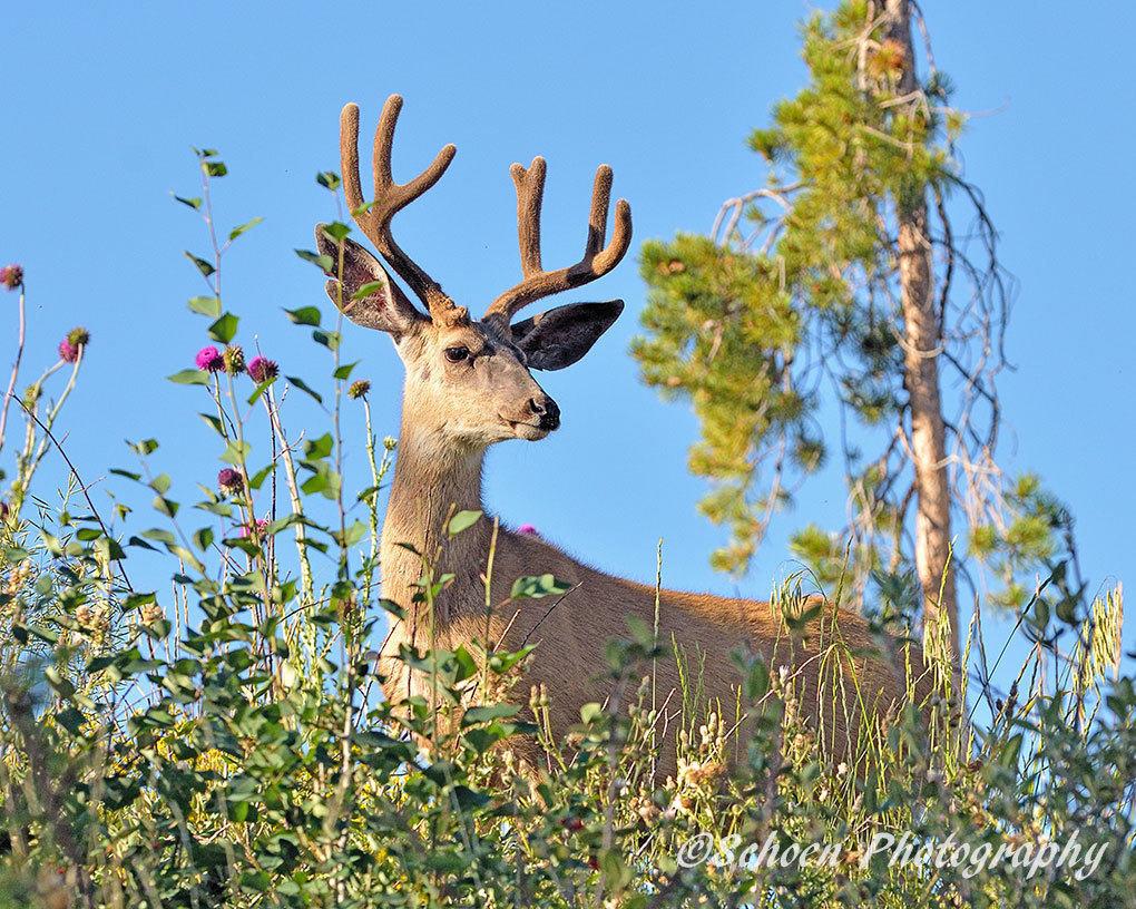 Deer 018
